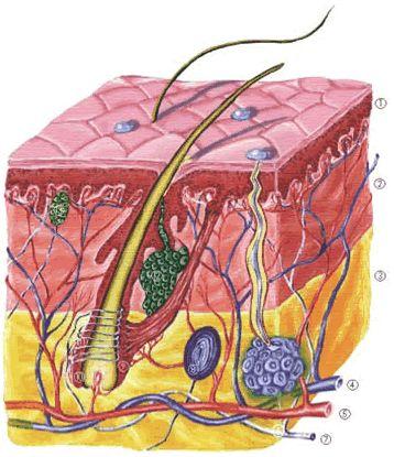Kötőszövet – Wikipédia