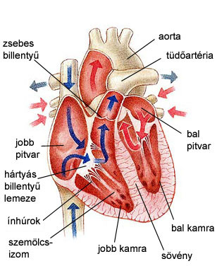 Az emberi szív